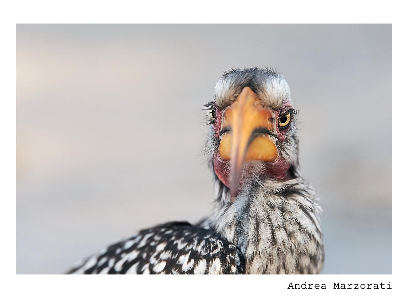 Yellow-billed Hornbill...