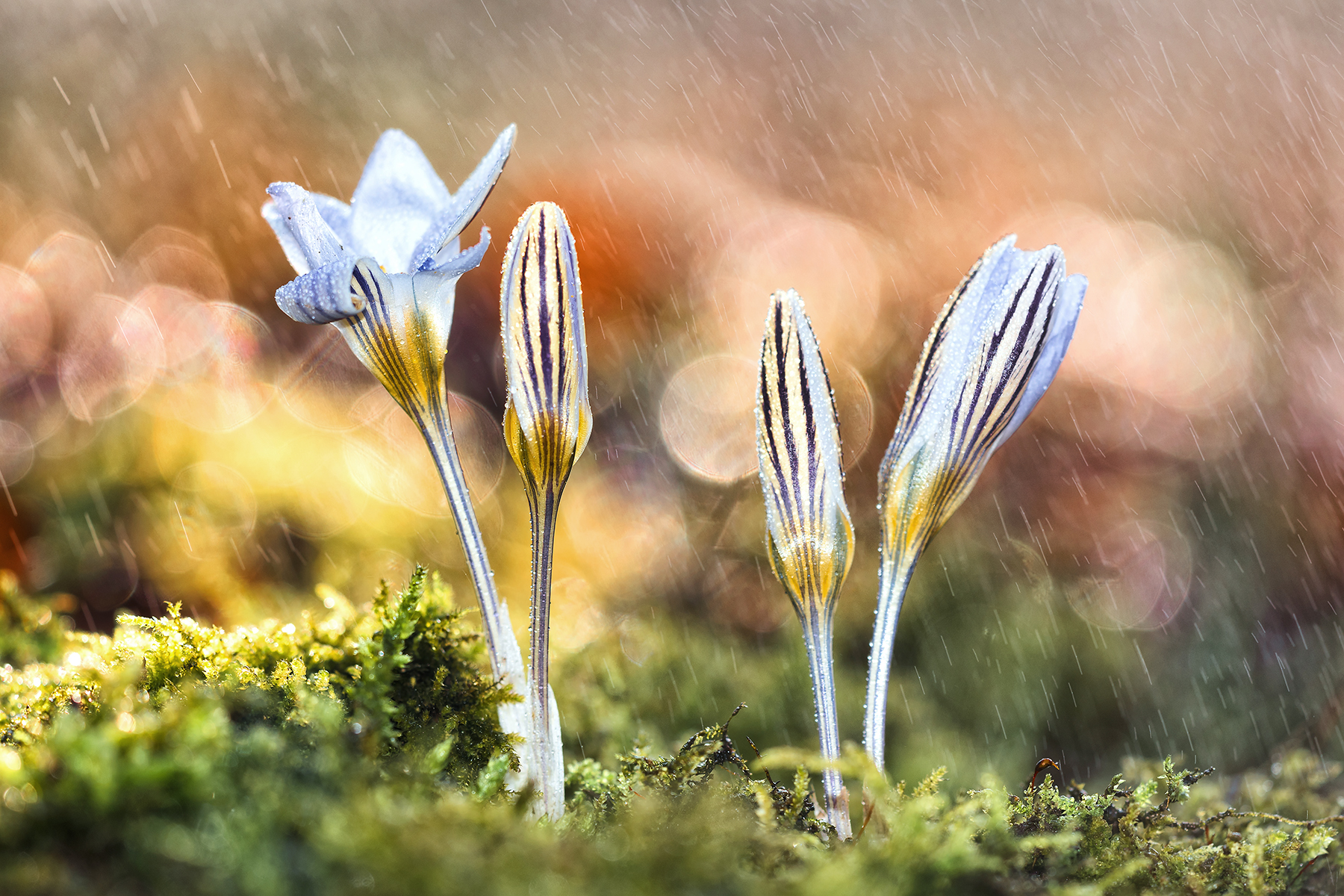 Crocus in the Rain...