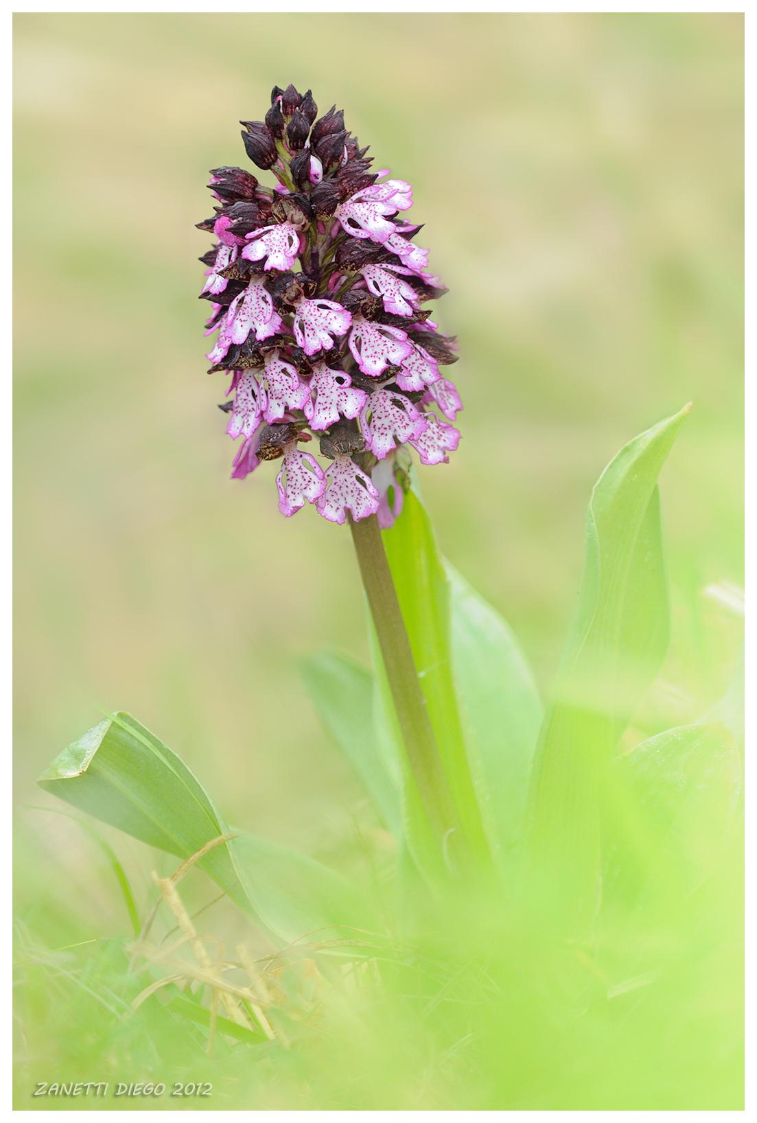 Purple Orchid...