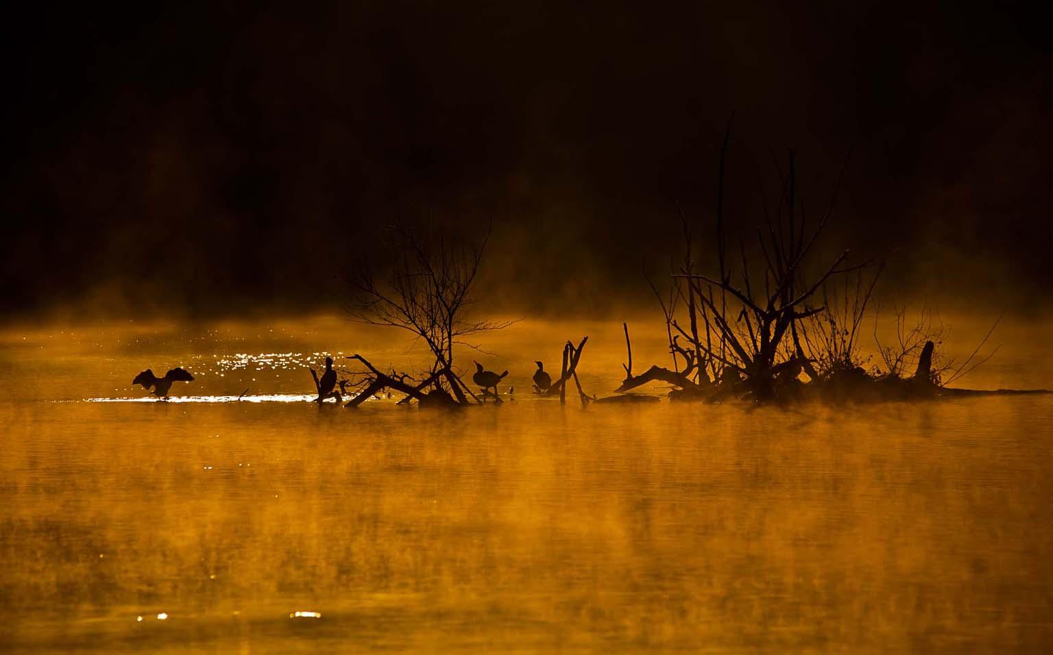 cormorants...