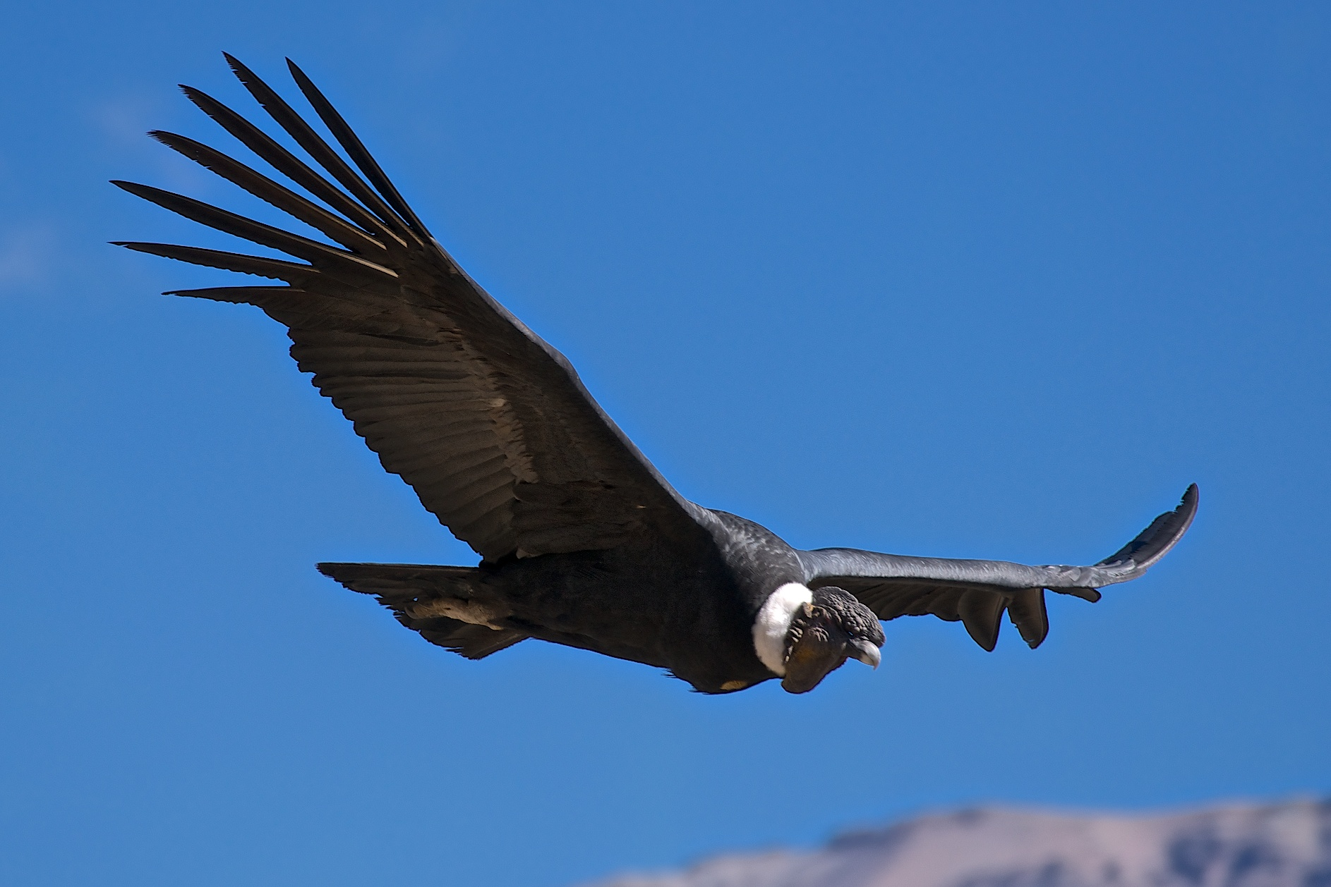 кондор птица фото еще забыт августовский