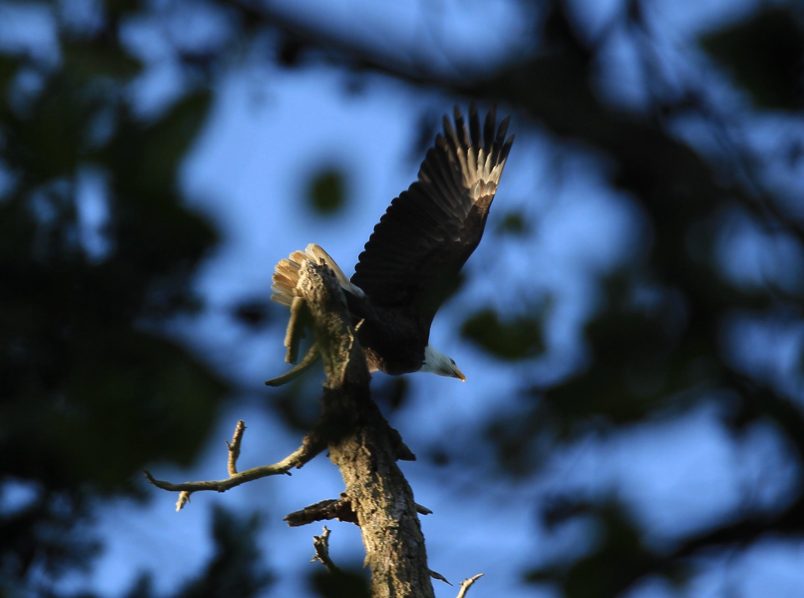 Bald Eagle taking off...