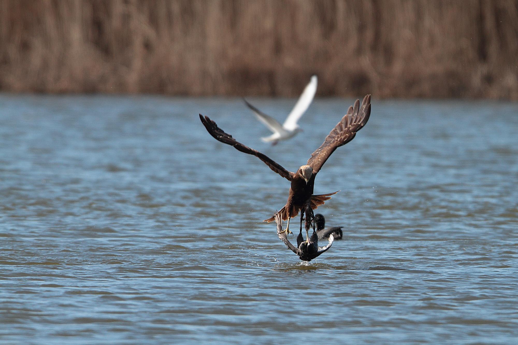 Marsh harrier prey that a hen...