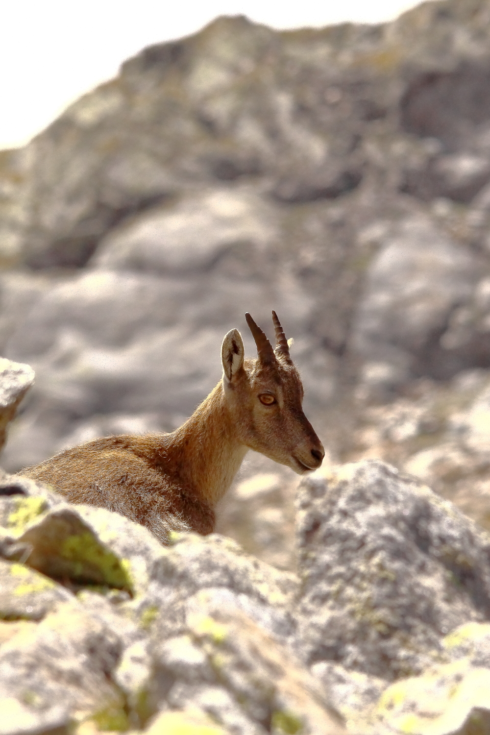 Young ibex...