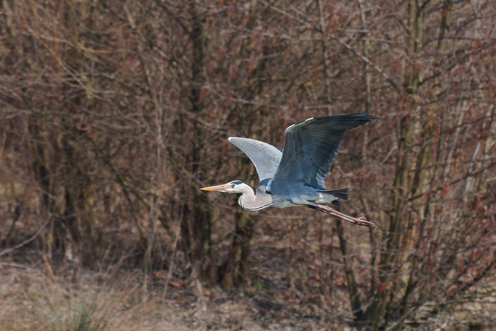 Heron in flight...