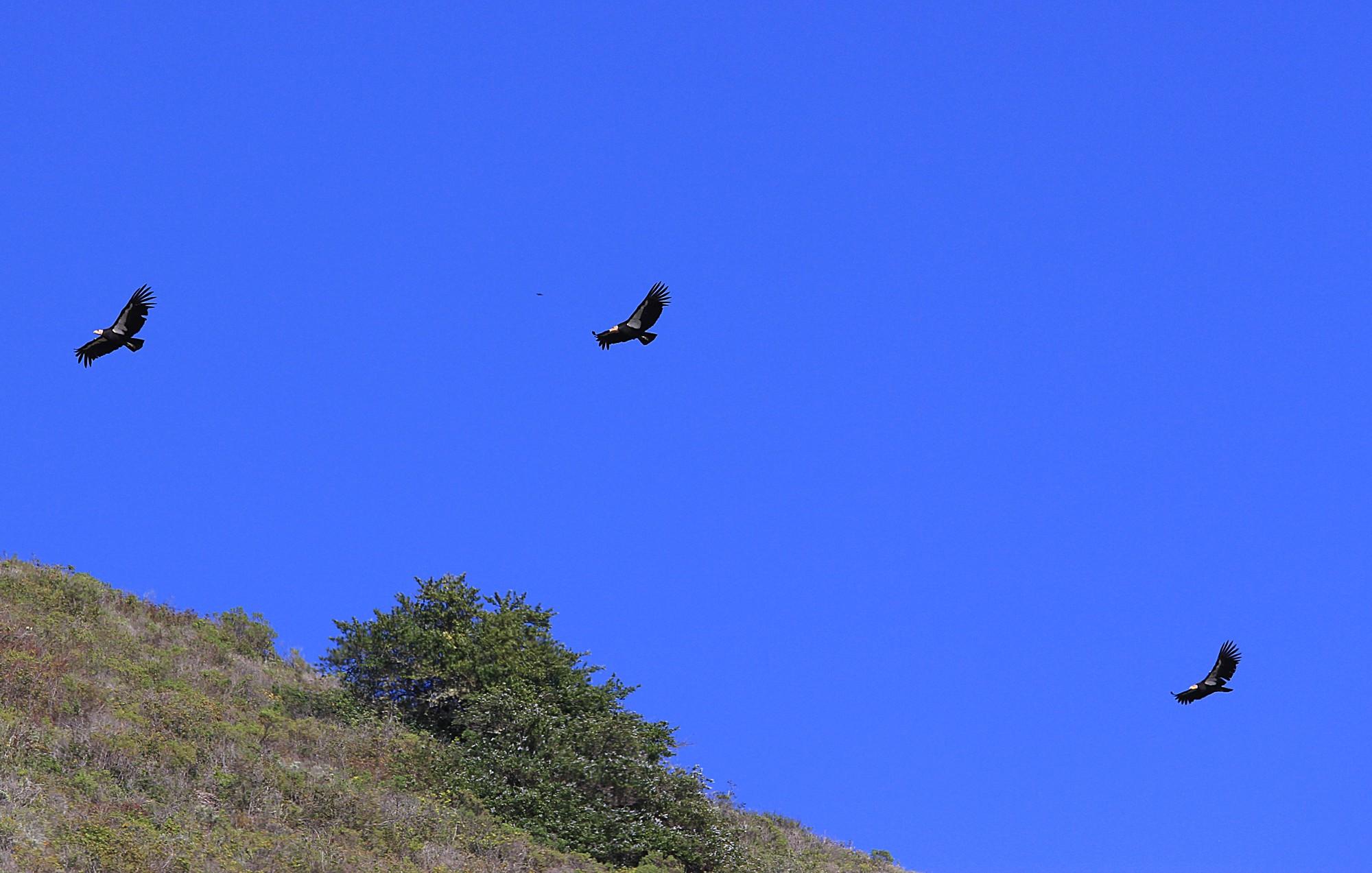 California condor Patrol...