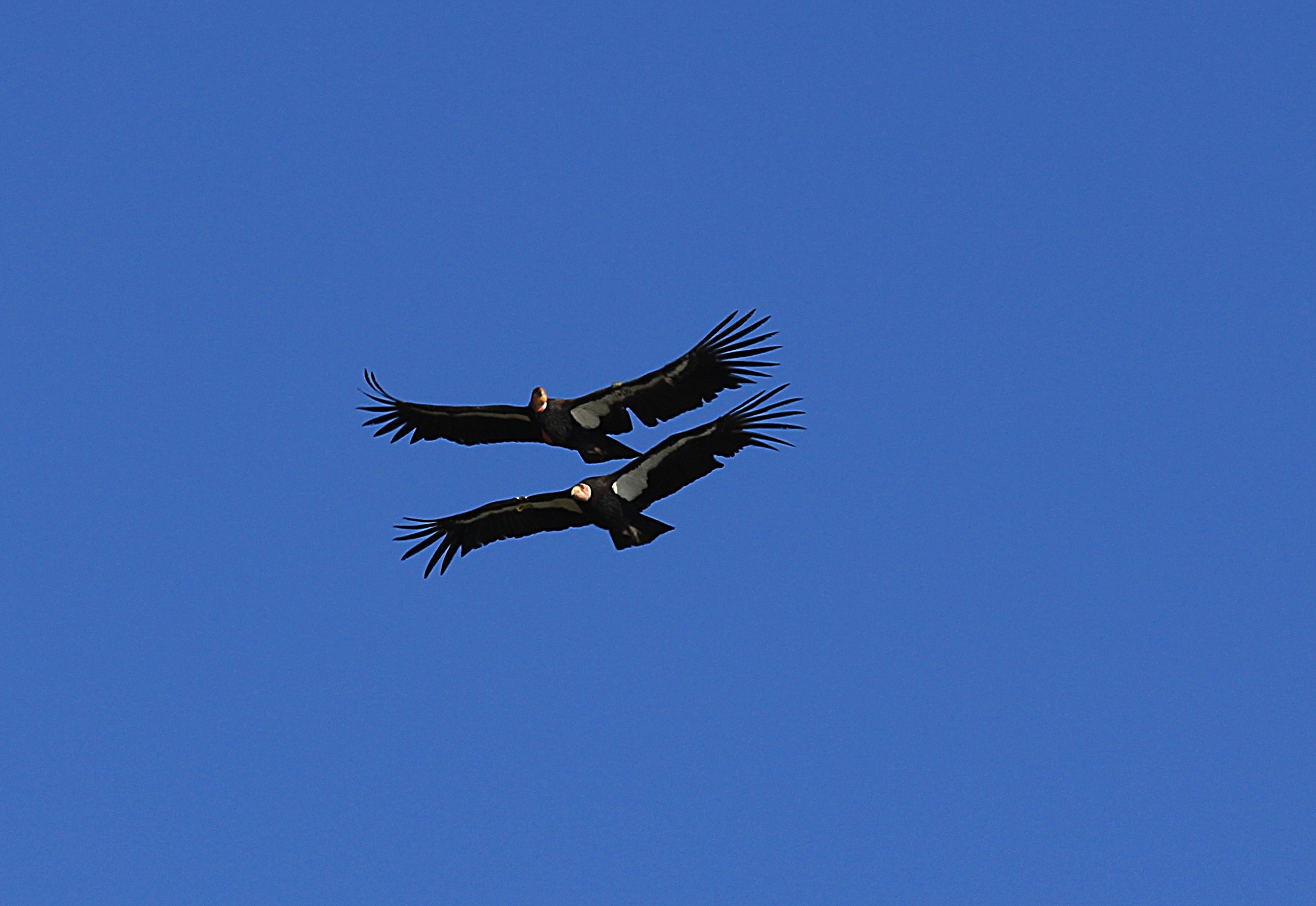 California Condors Pair...