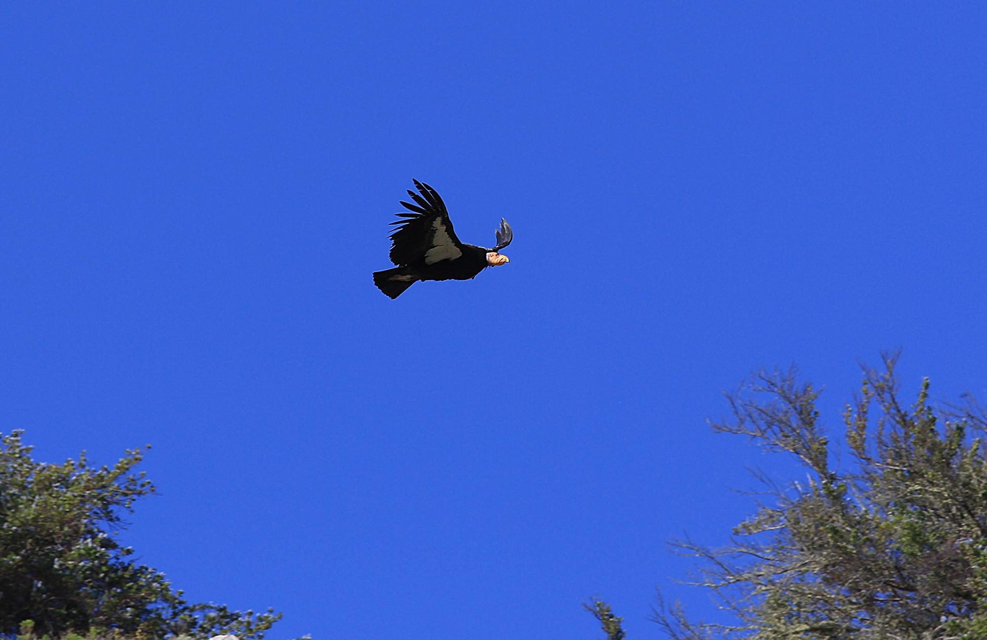 Condor della California di svolta...