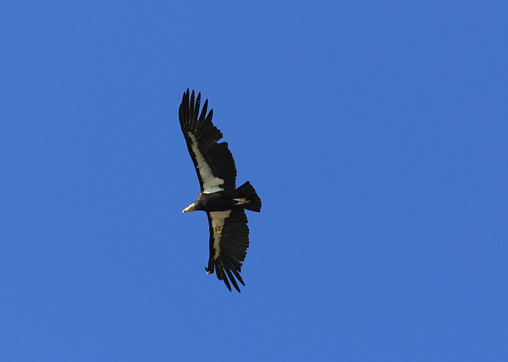 California Condor: Giant and numbered like an airplane...