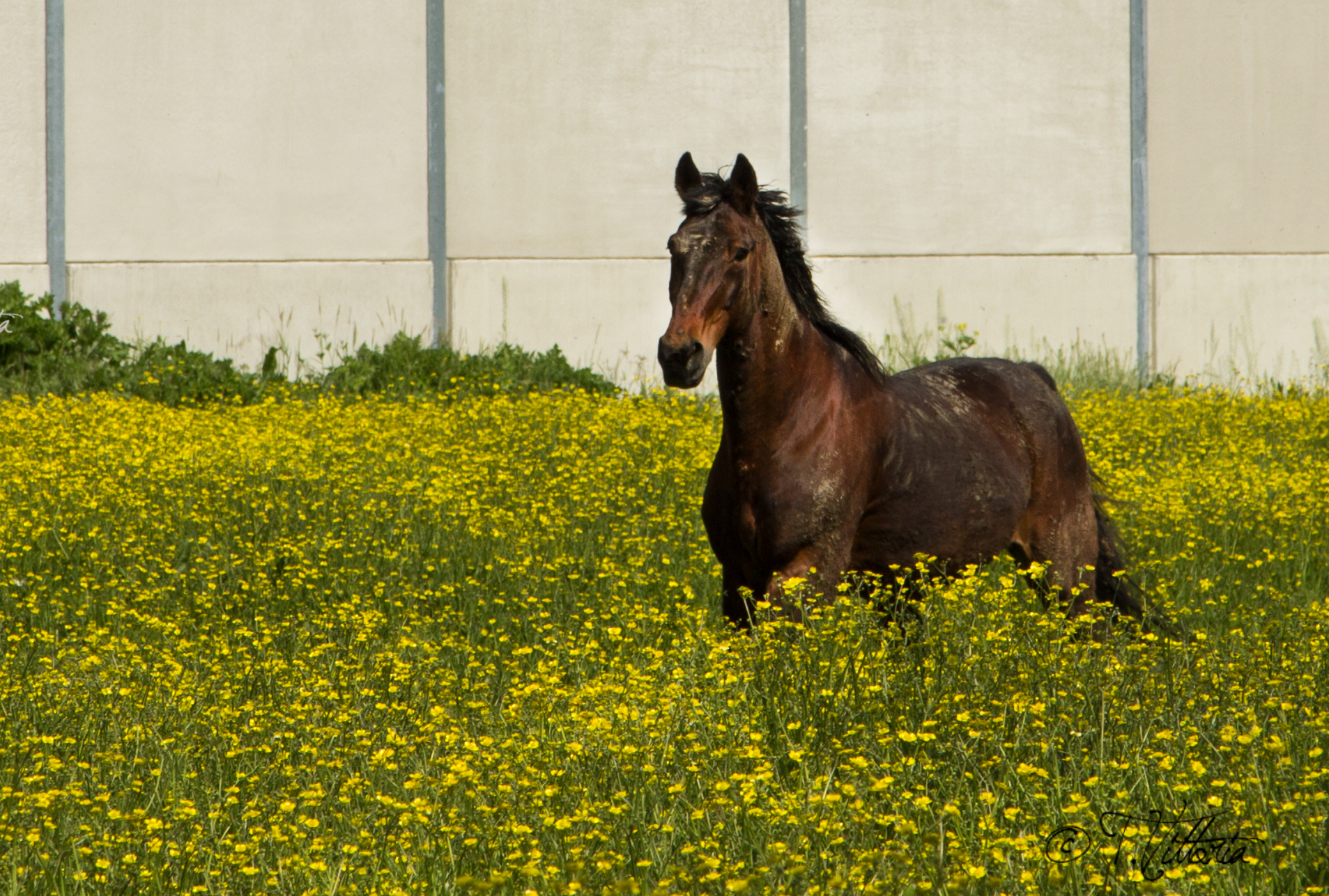 The horse in the flowers...