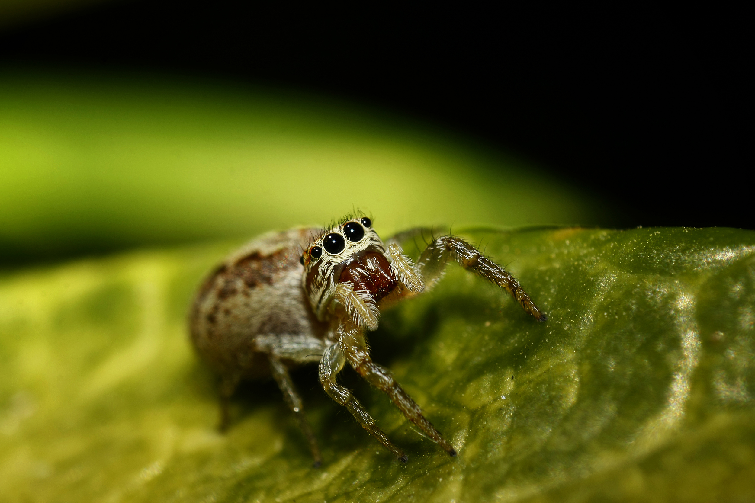Jumping Spiders (Salticidae sp.)...