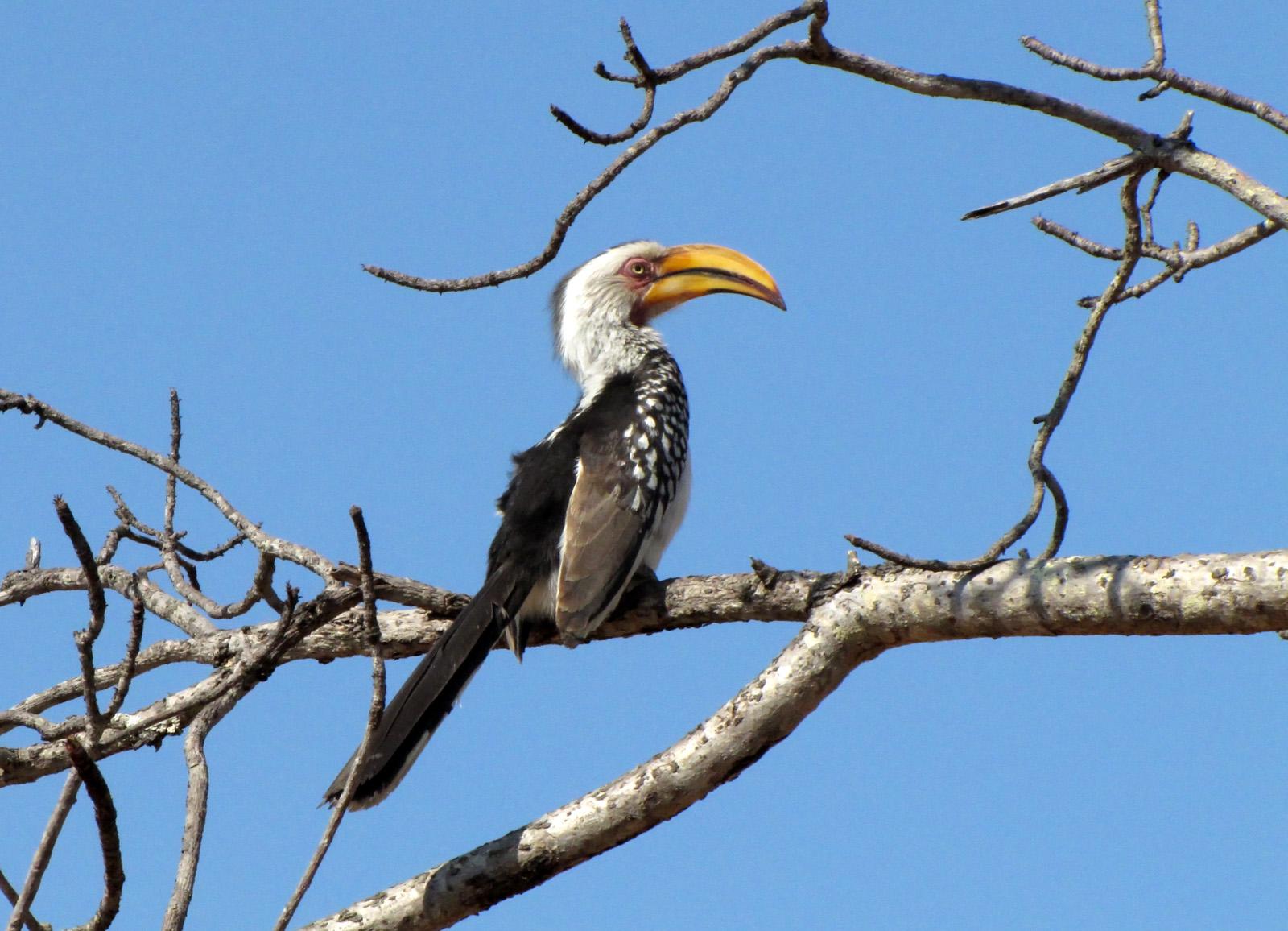 Yellowbilled Hornbill...