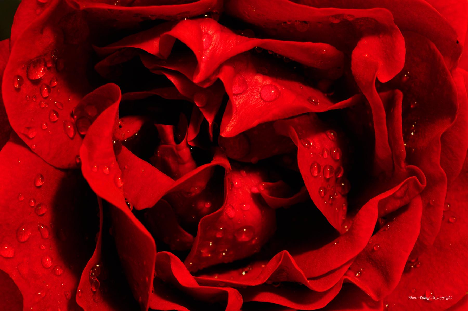 Rosa con Gocce...