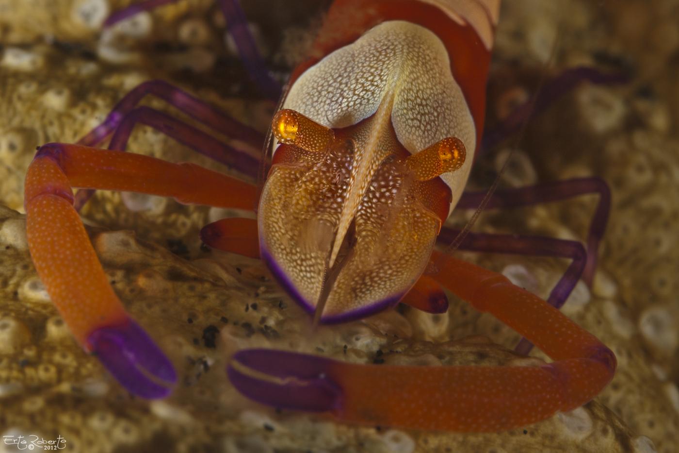 Emperor Shrimp...