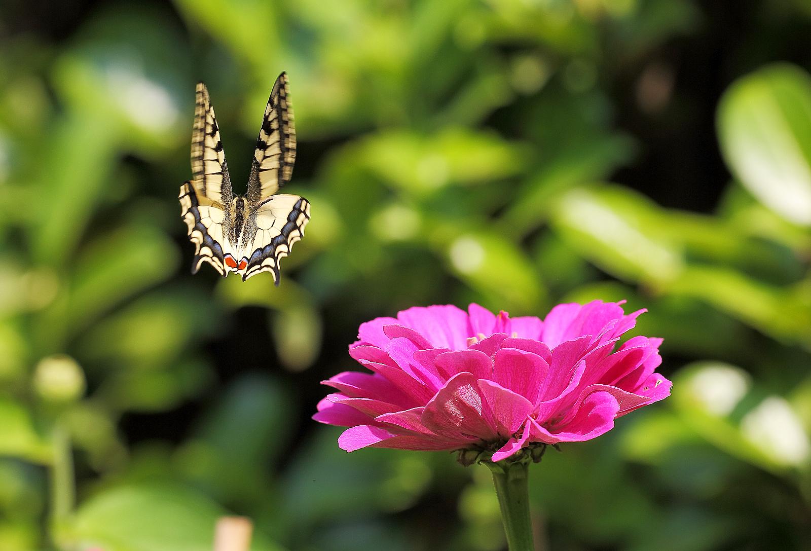 Swallowtail in flight...