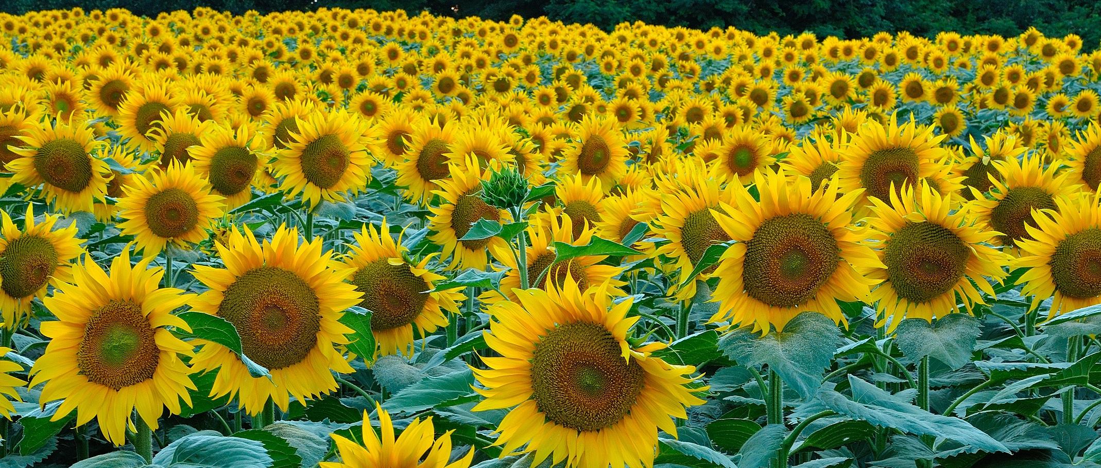Sea of ??sunflowers...