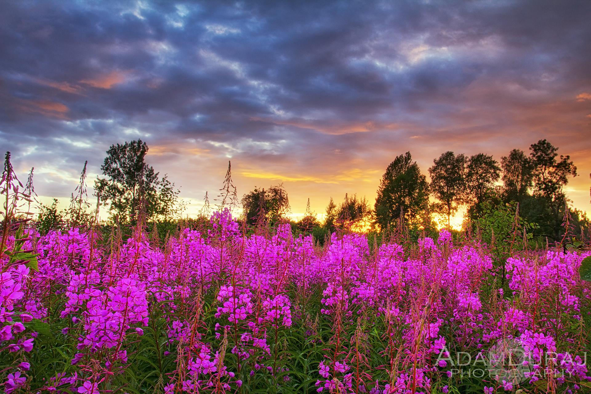 Summer Flowers (magenta 2013)...