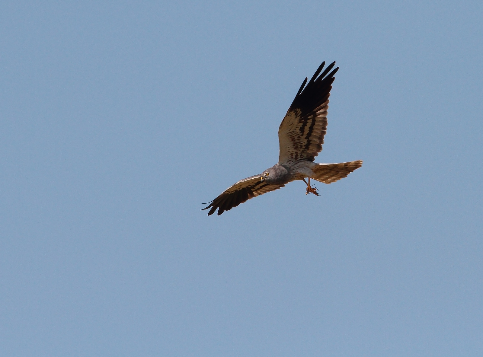 Montagu's Harrier...