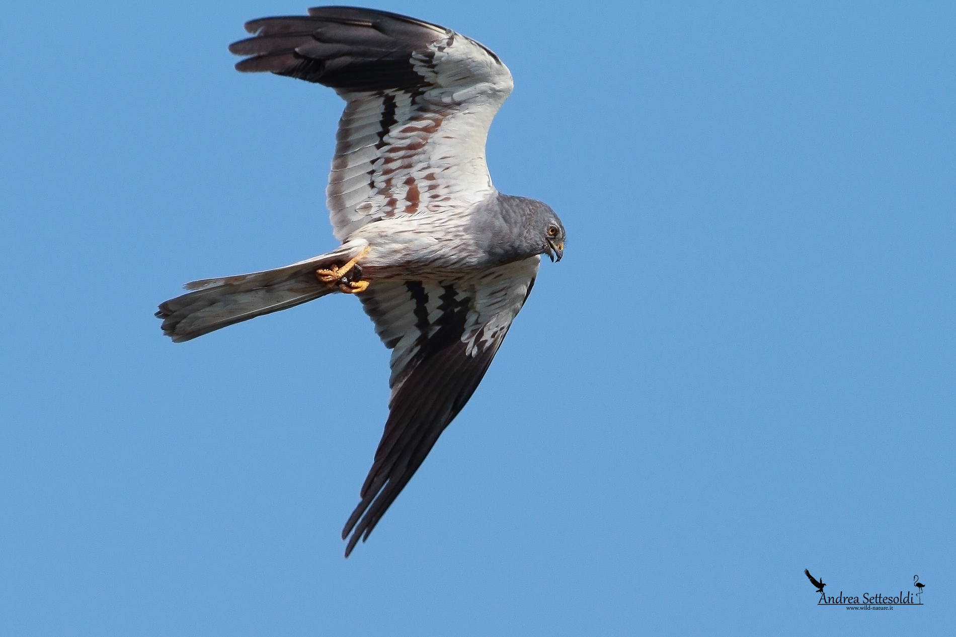 Montagu's Harrier male...
