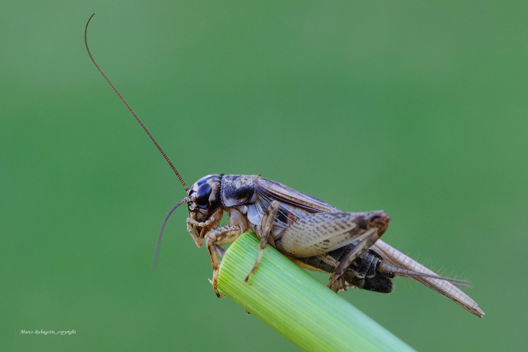 Nemobius Sylvestris_1...