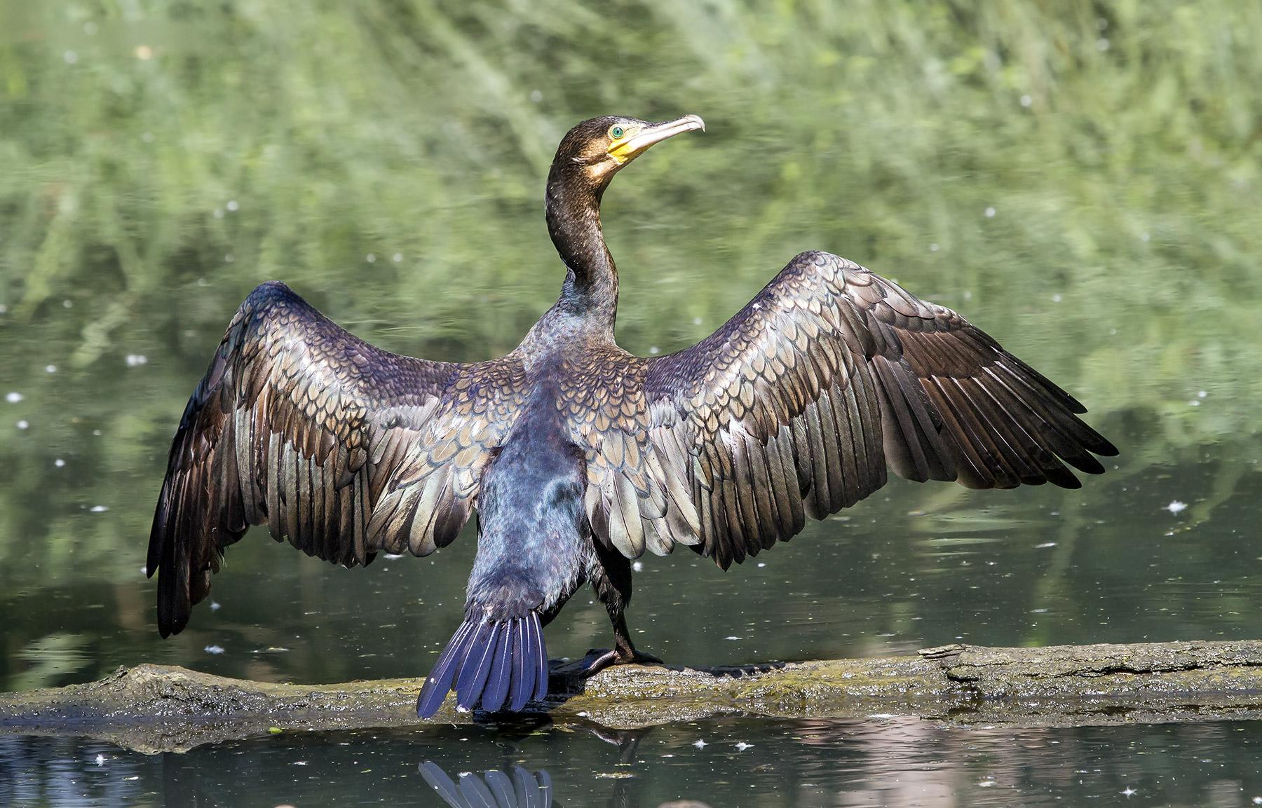 Performance of the cormorant .......