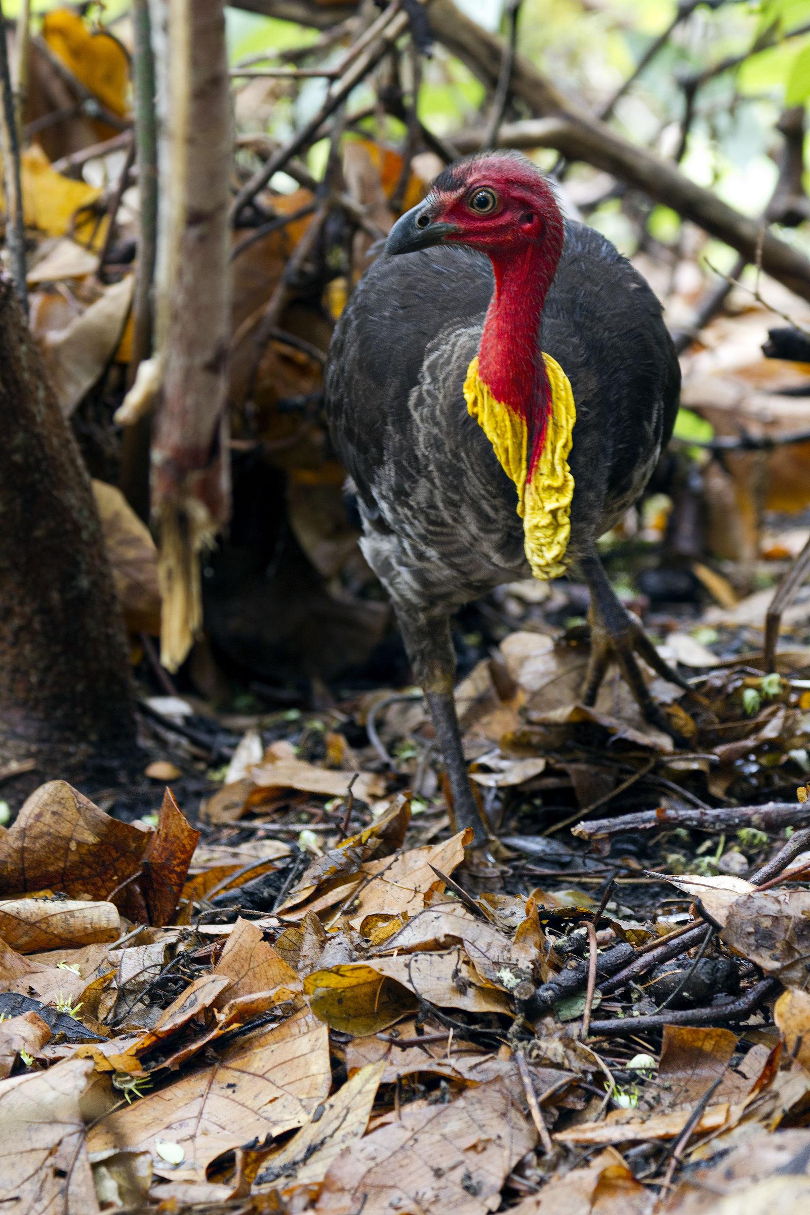 Tacchino di boscaglia australiano...