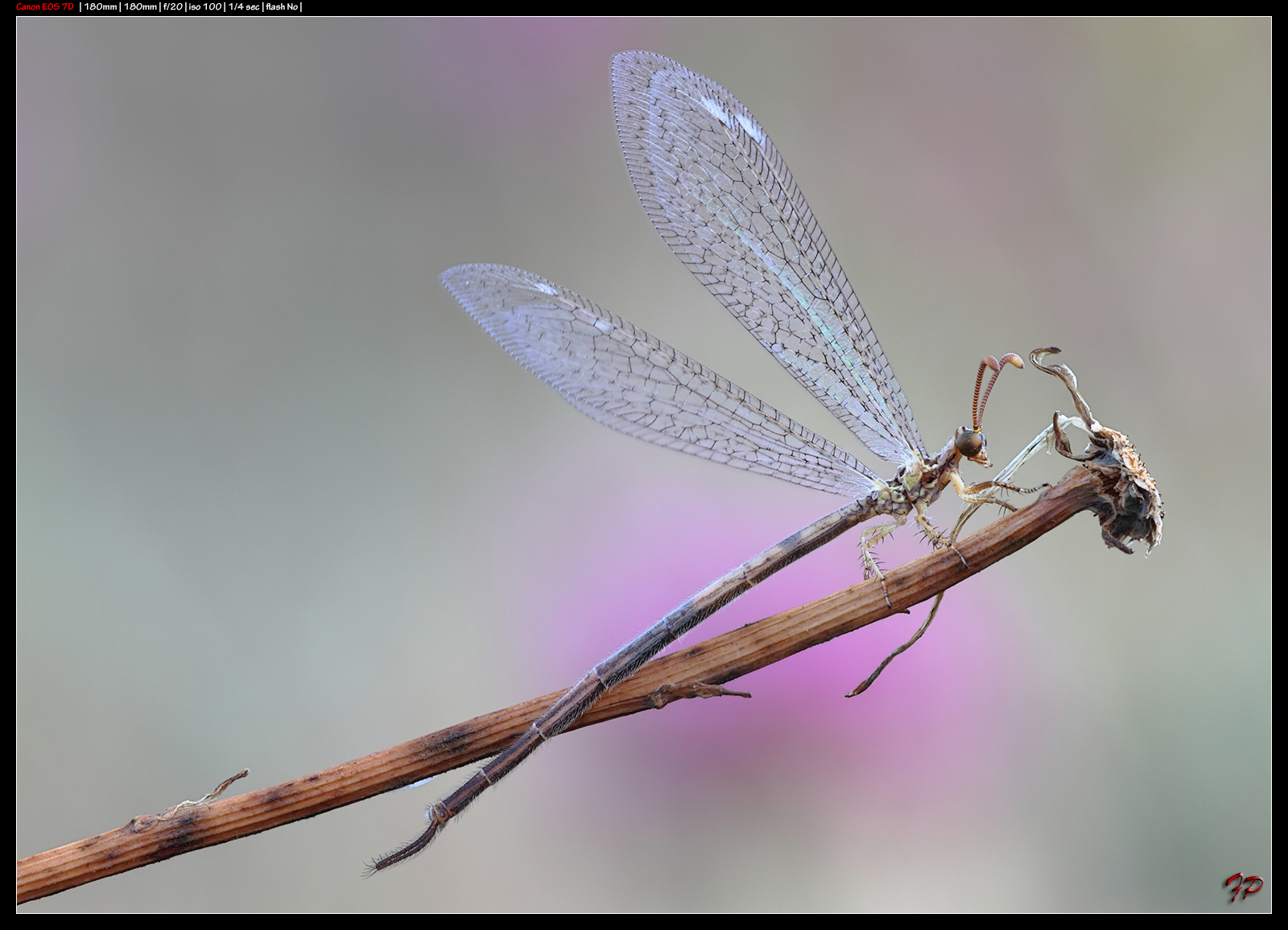 Neuroptera...
