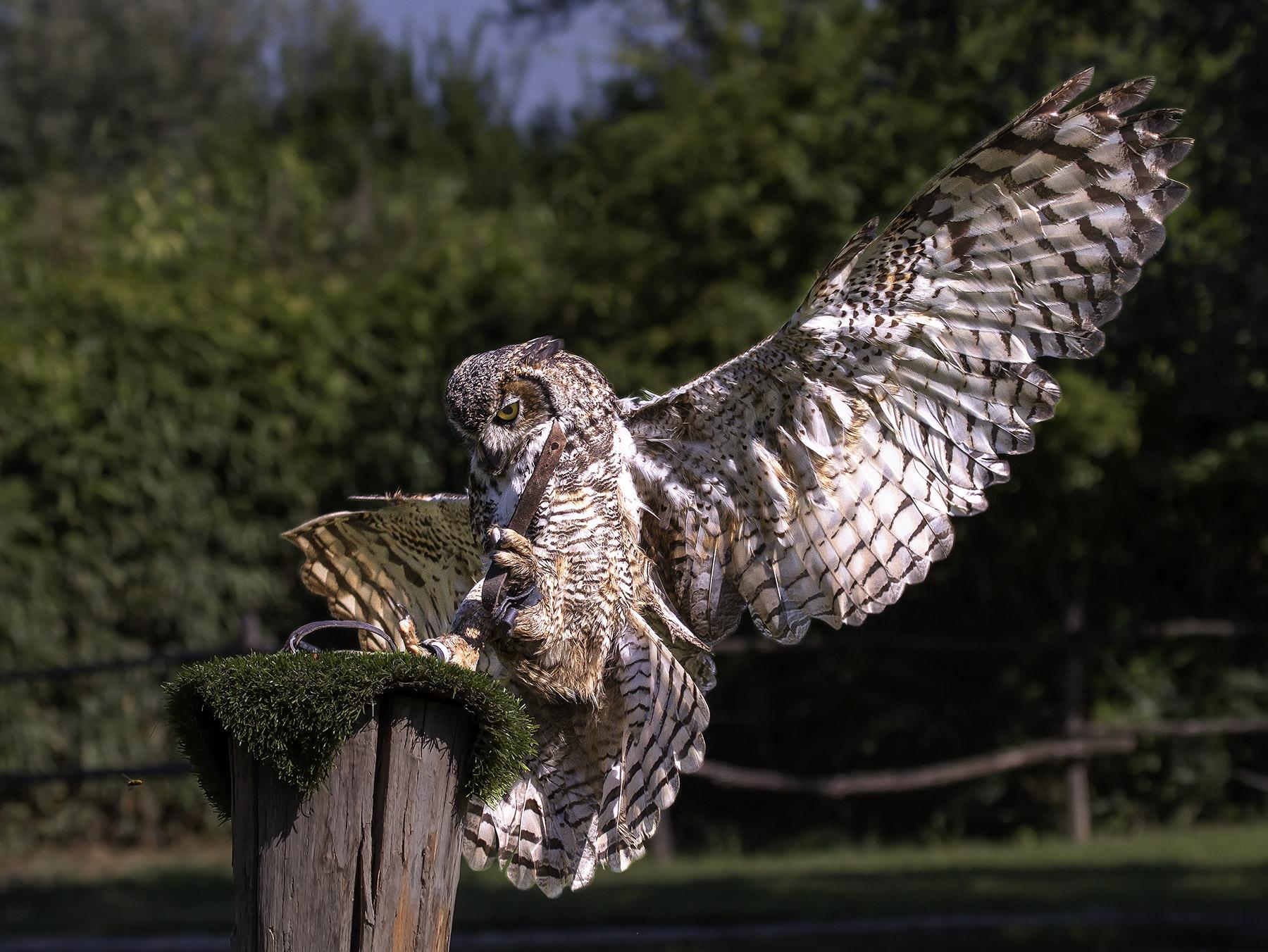 Eagle Owl .........