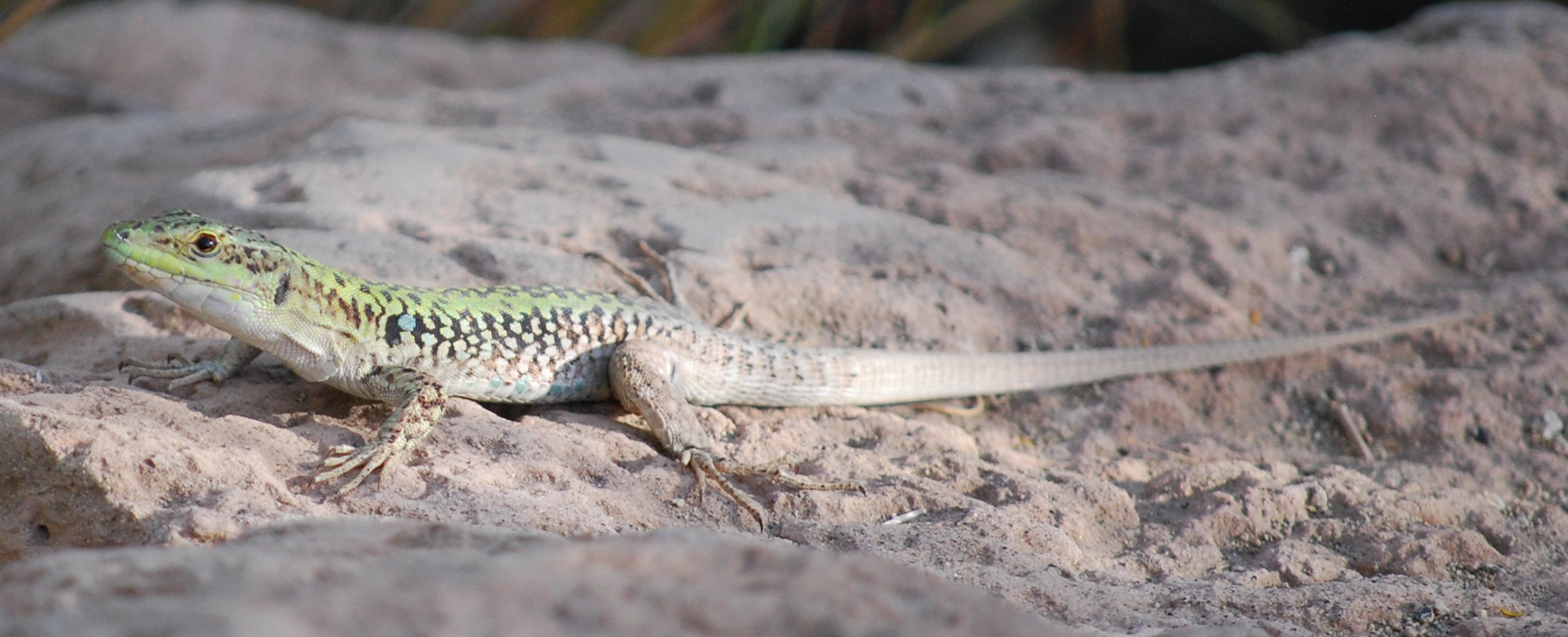 Lizard Eoliana...