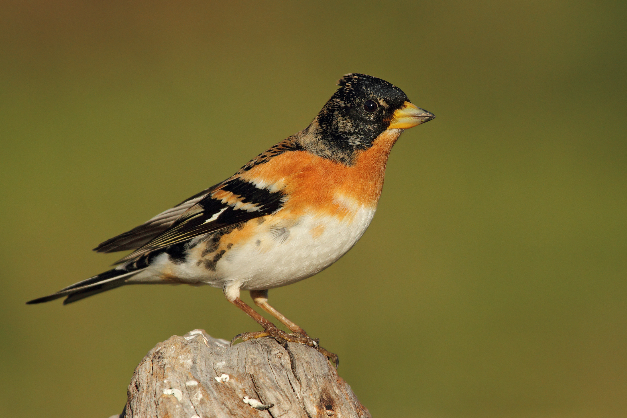 A handsome male Brambling .........