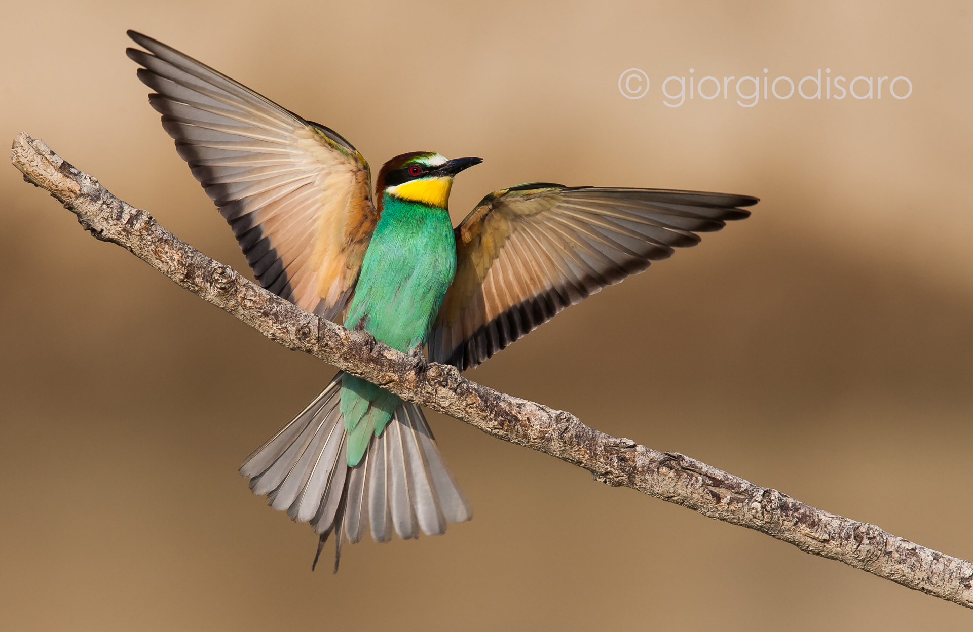 bee-eater 1...