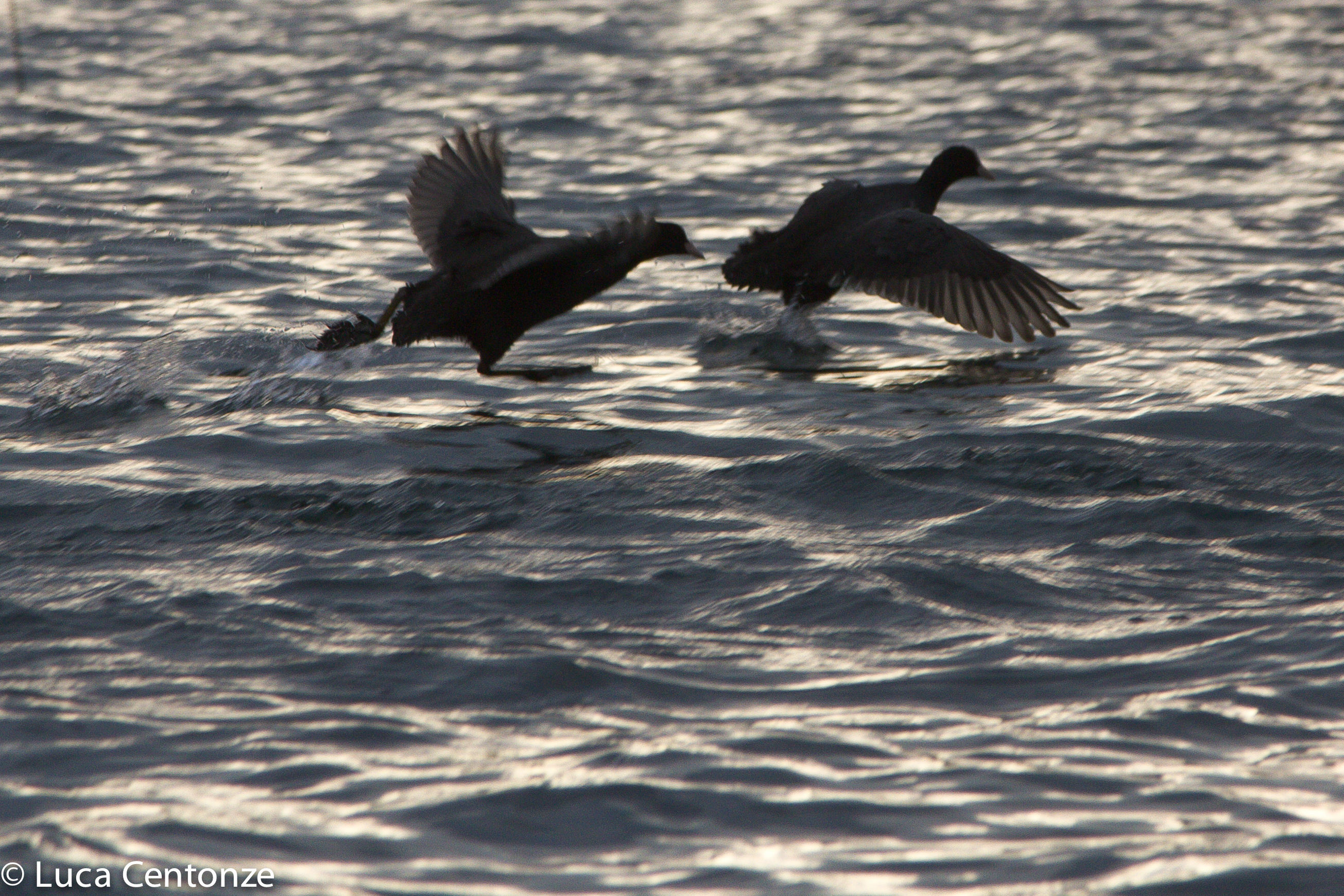 The dance of Coots...
