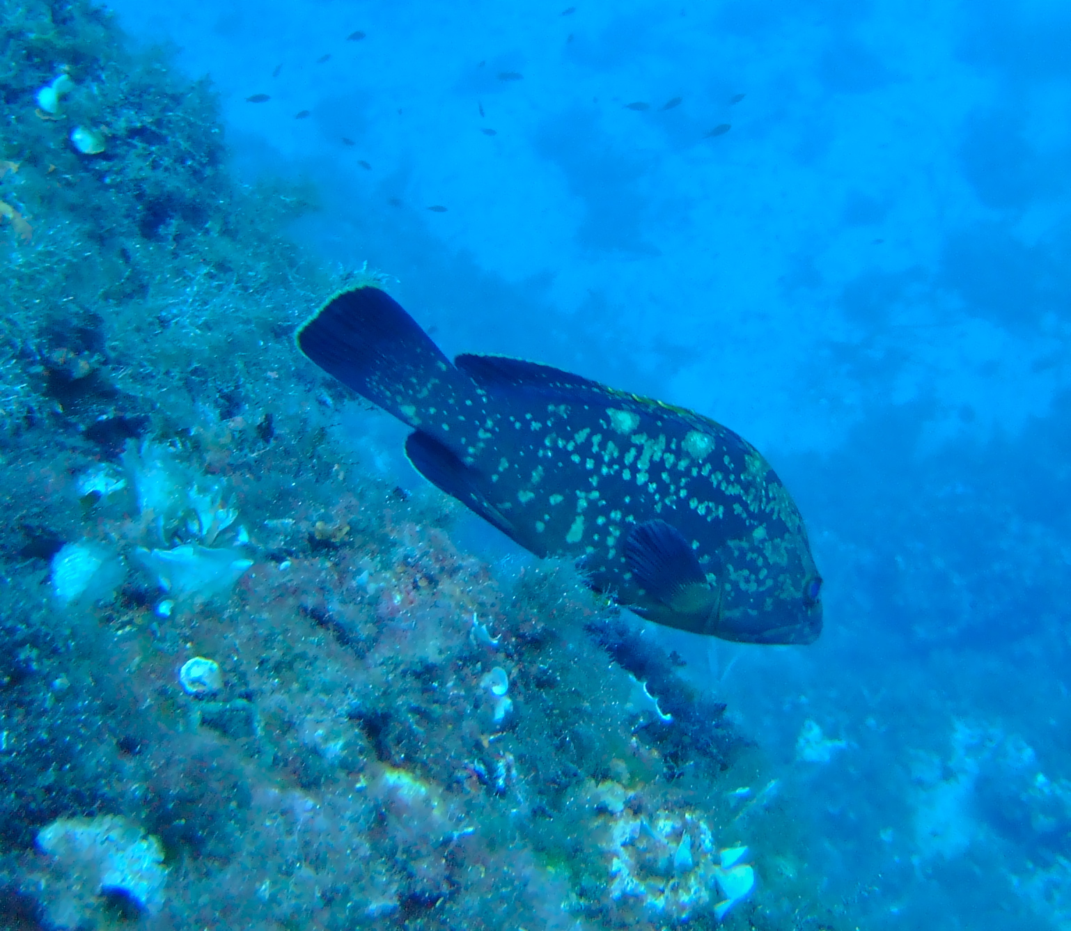 Grouper on the run...