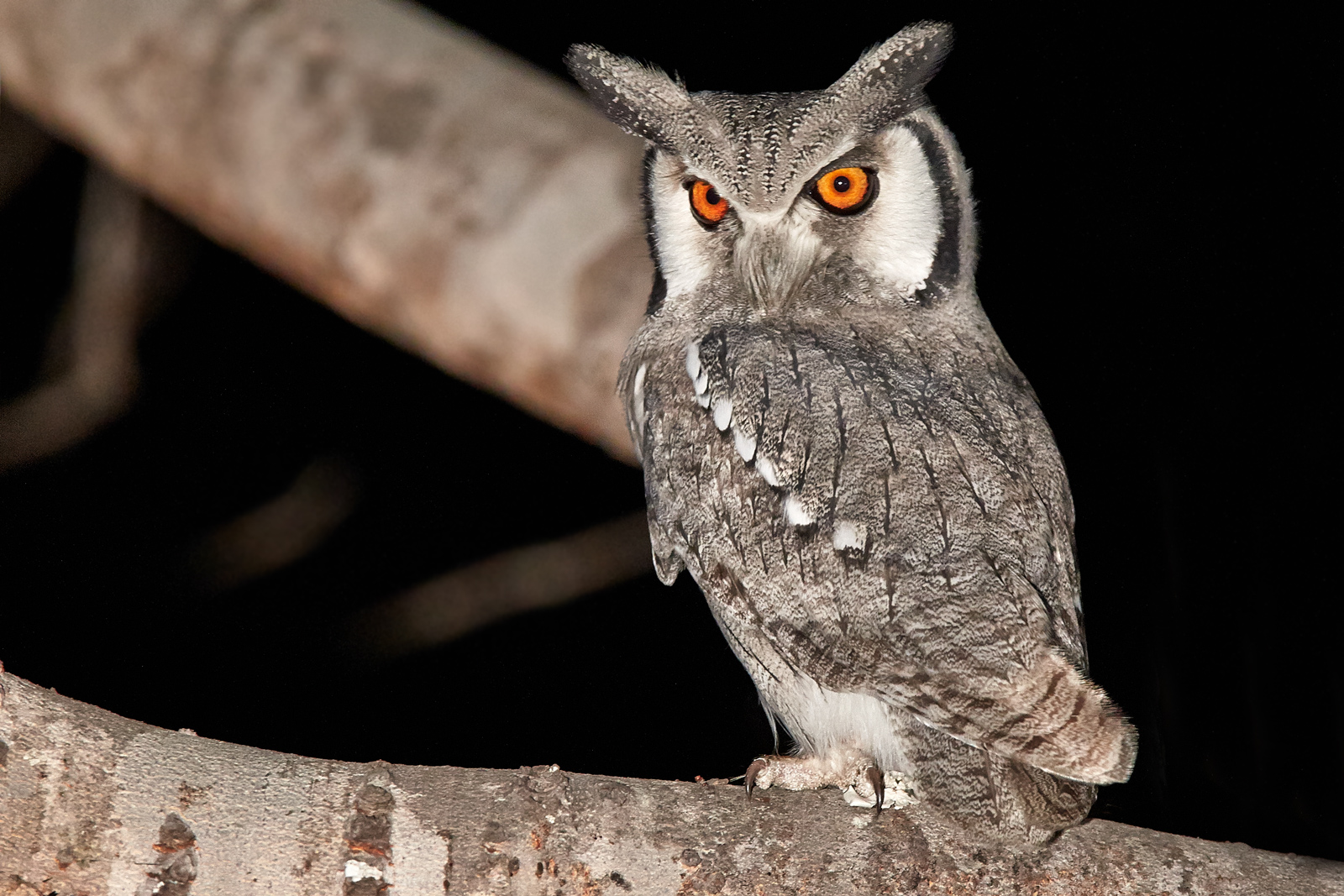 Southern White-faced Owlet - Ptilopsis erlangeri...