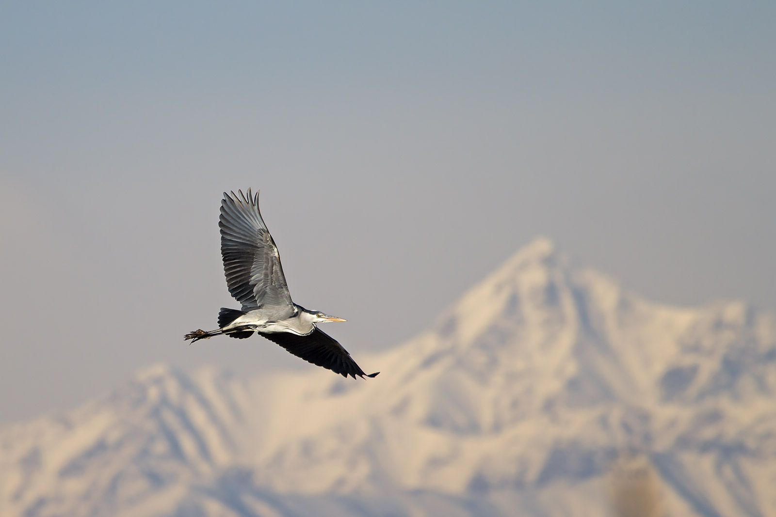 Grey Heron .....