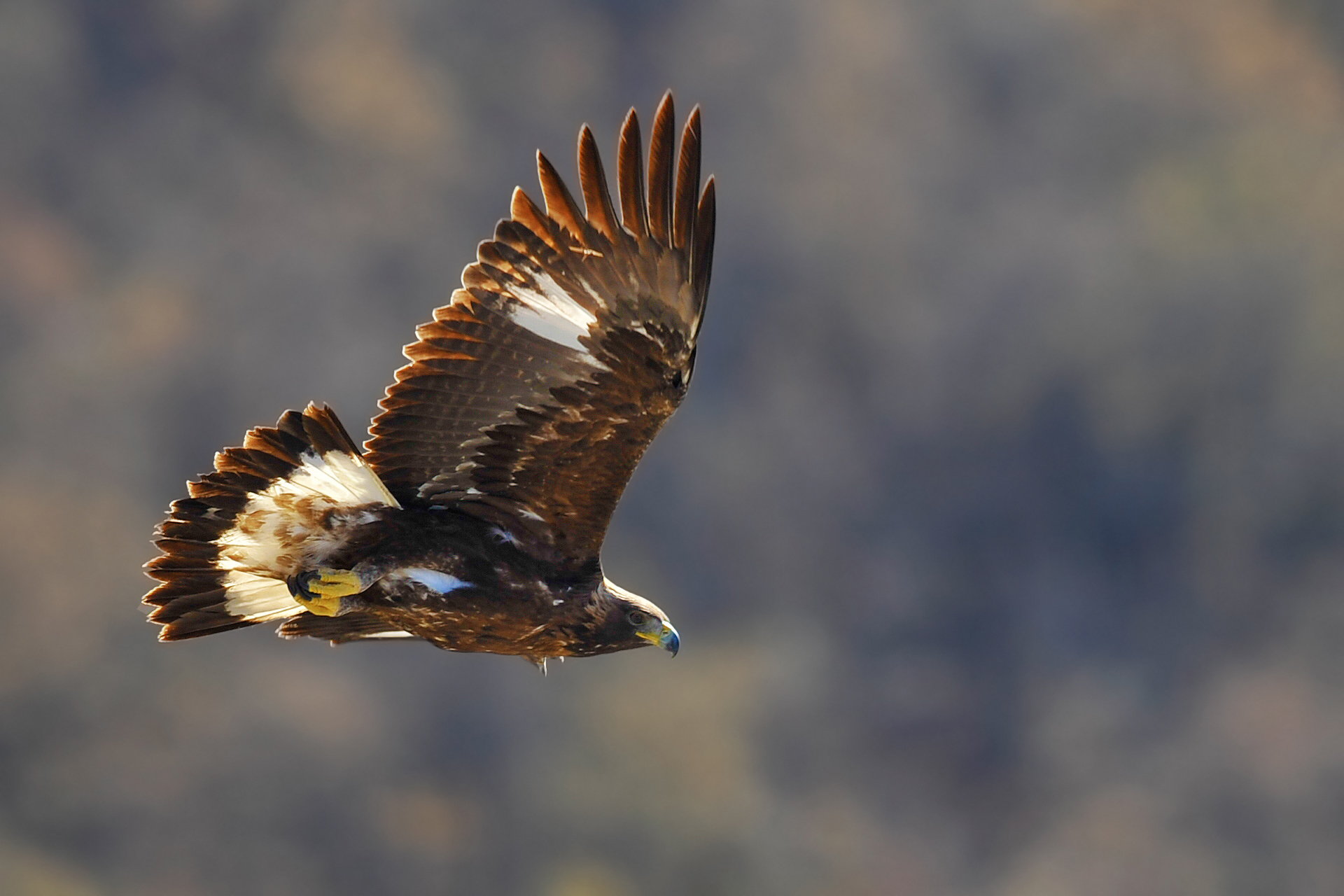 Golden Eagle ... close encounter of my type!...