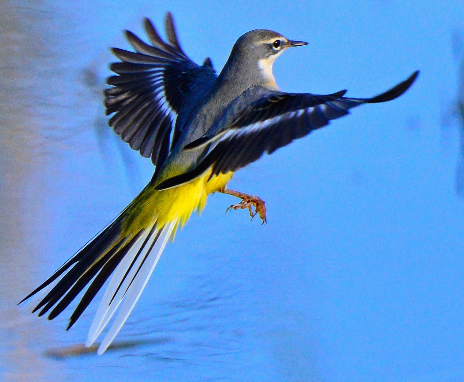 Wagtail...