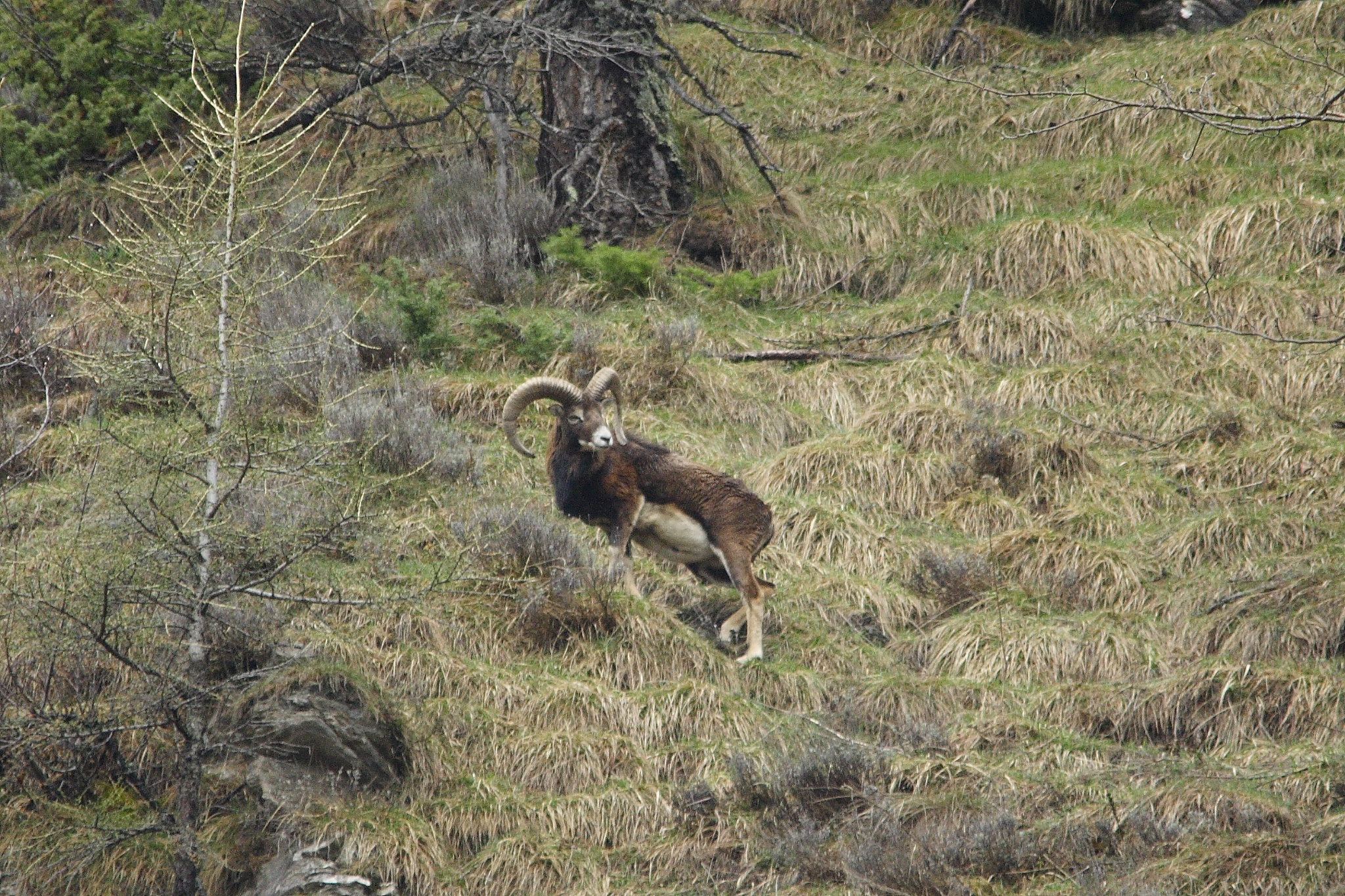 Mouflon of roburent...