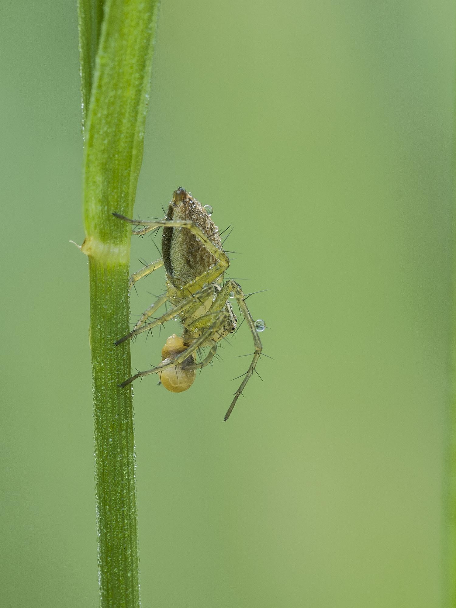 green spider mite...