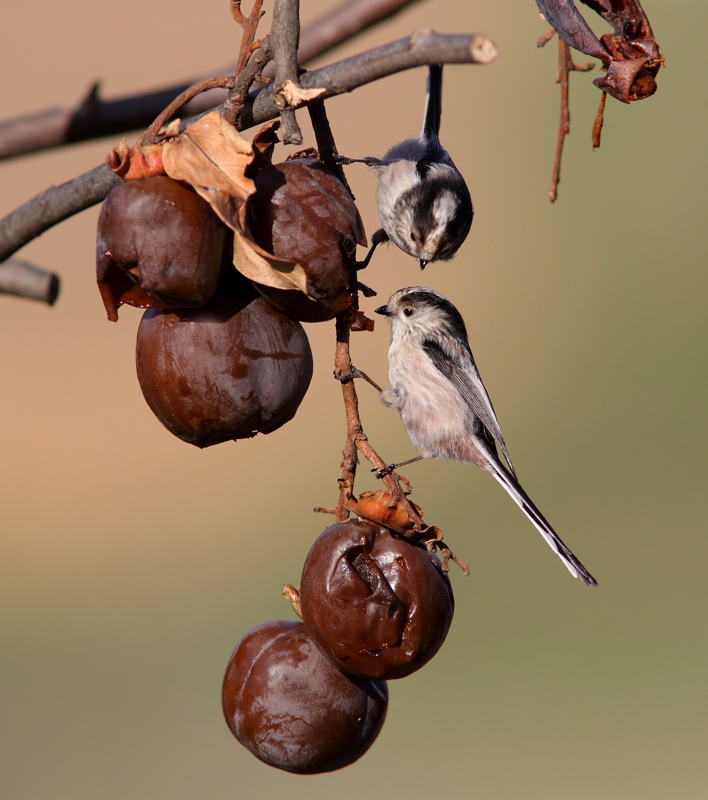 long-tailed tits...