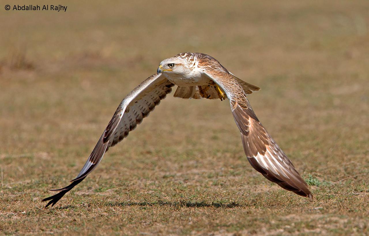long-legged buzzard...