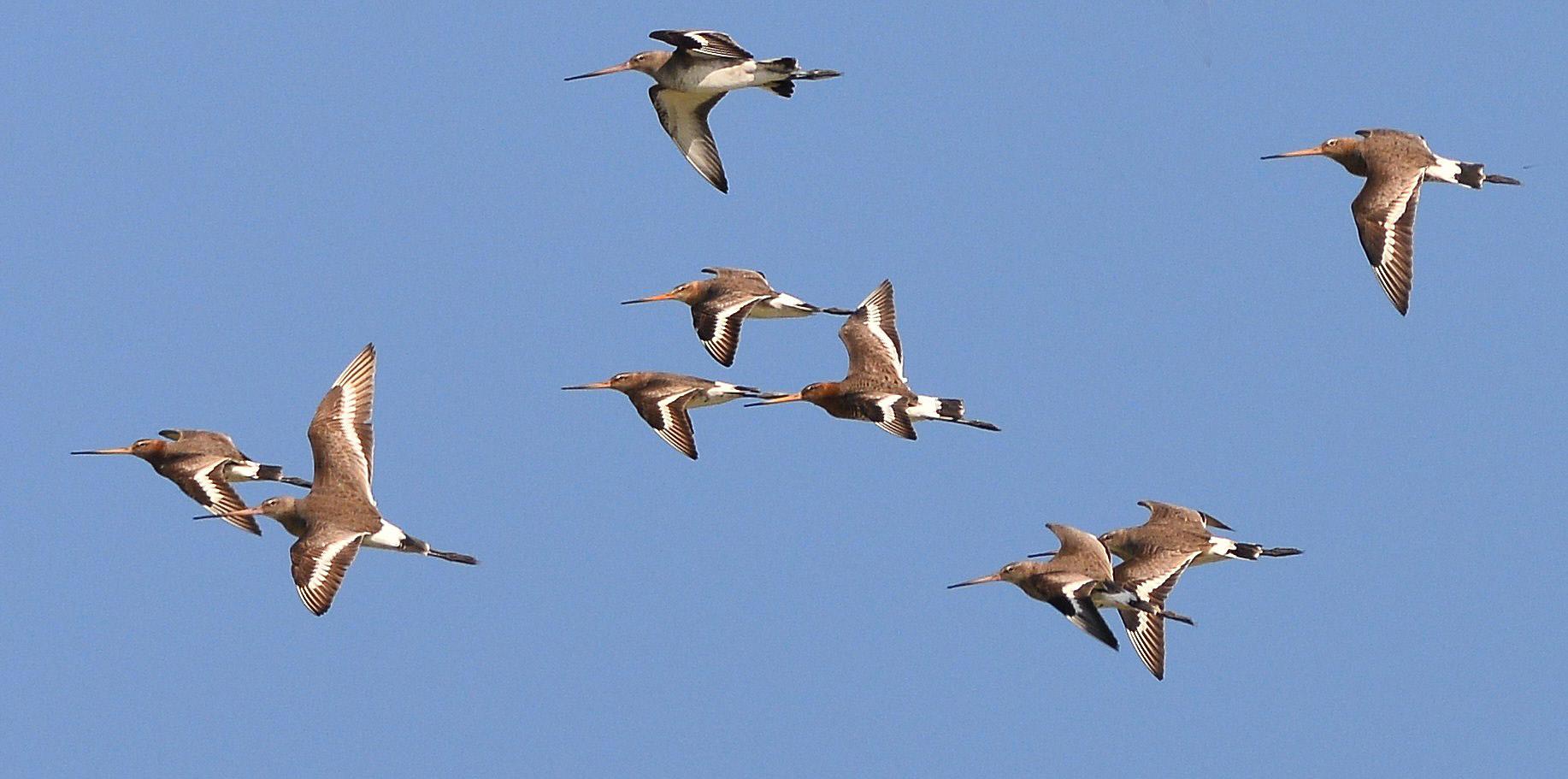 Godwits in flight...