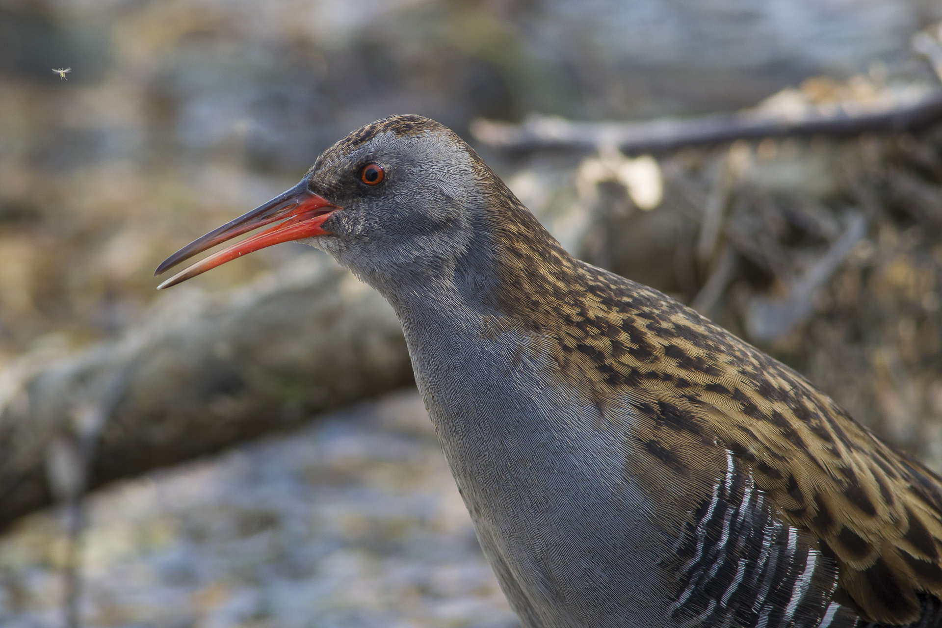 Water Rail in hand...