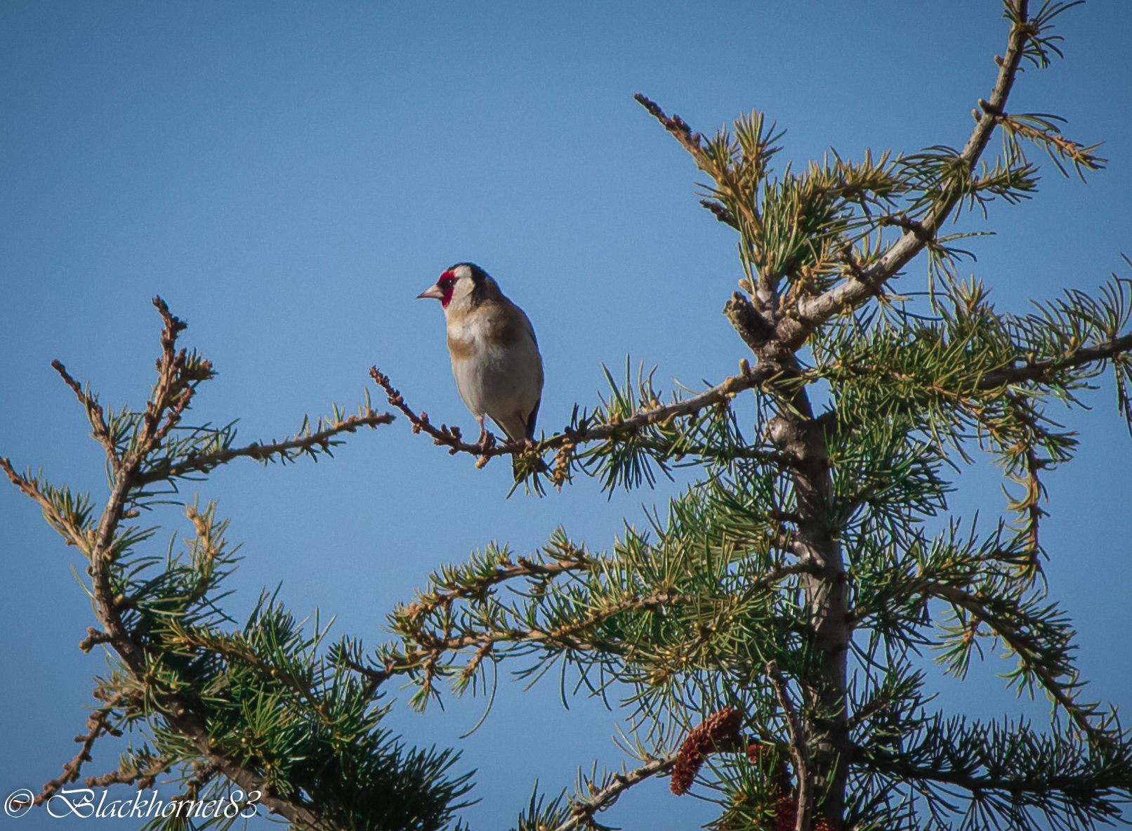 Goldfinch Valdostano...