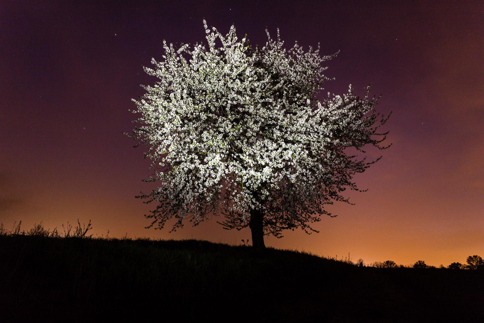 Albero di ciliegio solitario...