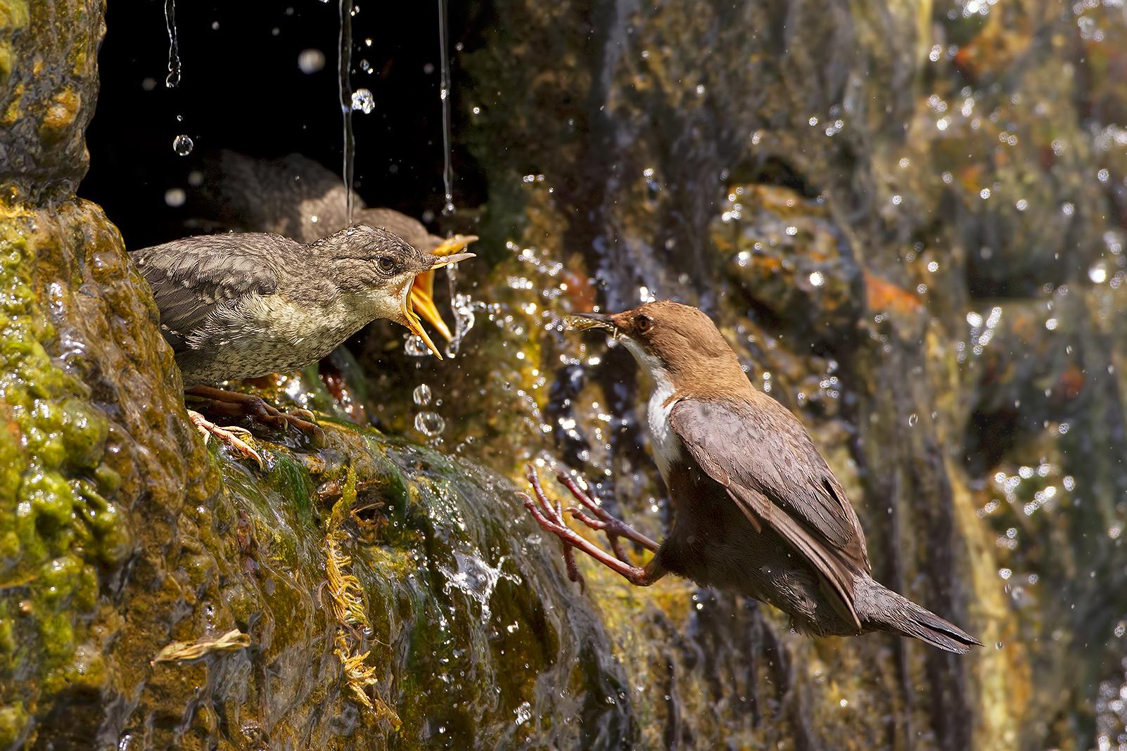 Hungry mouths (blackbird Dipper)...