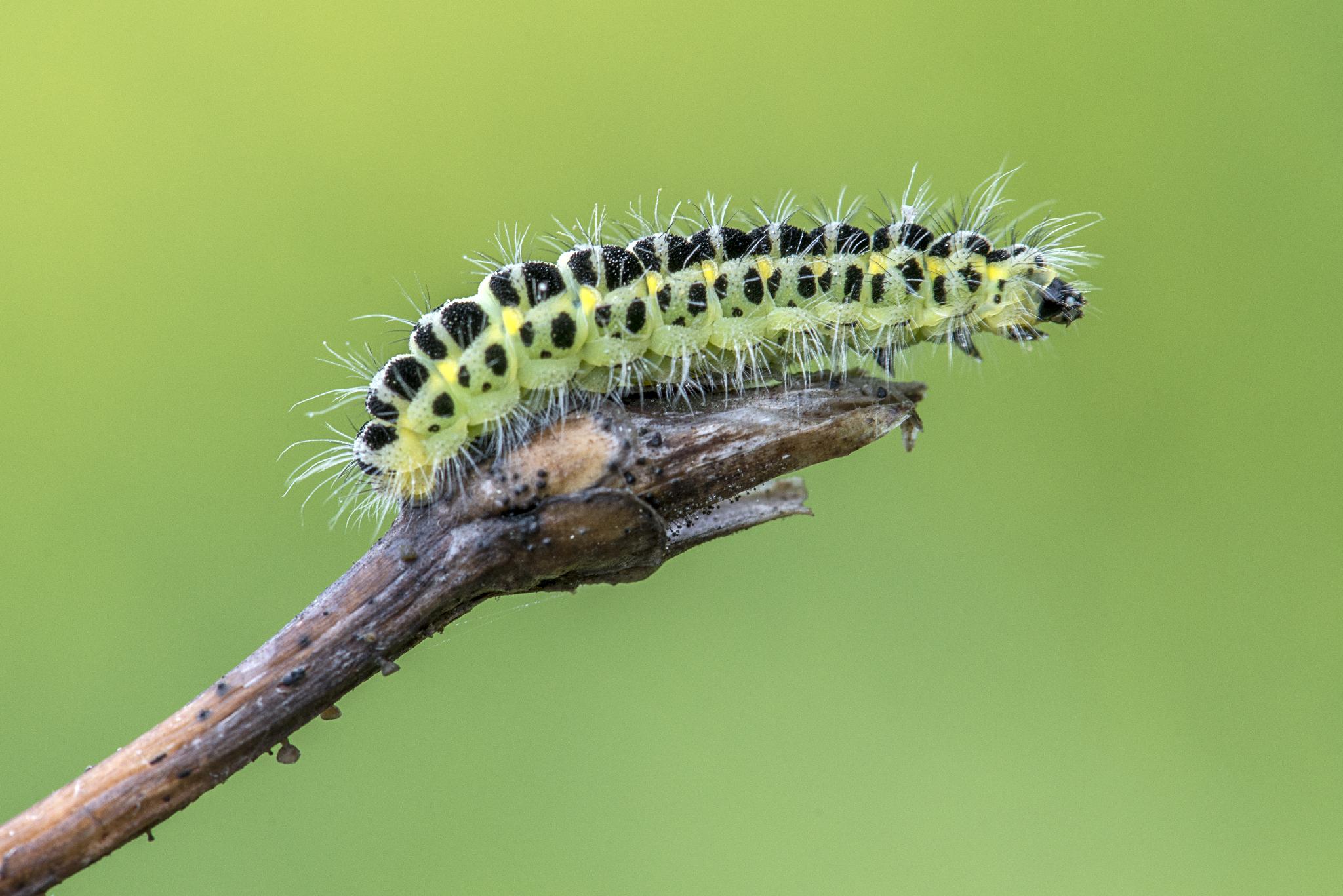 The Caterpillar...