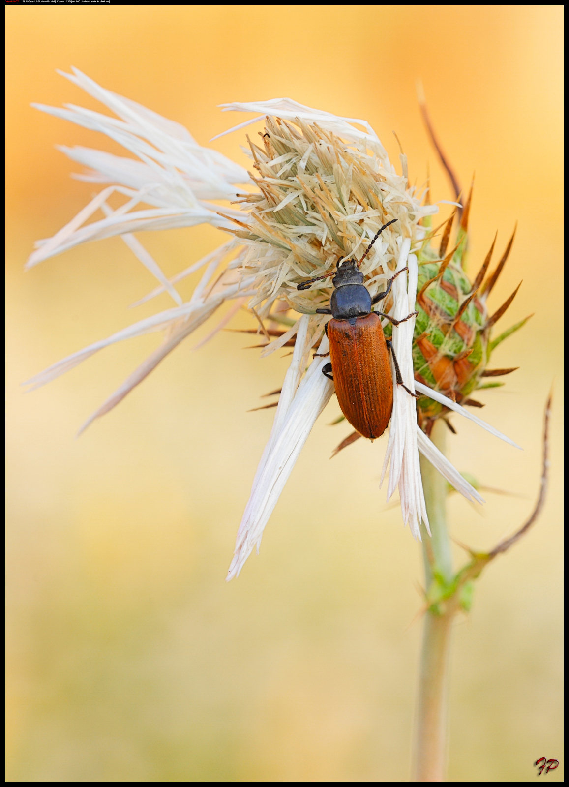 Omophlus lepturoides...