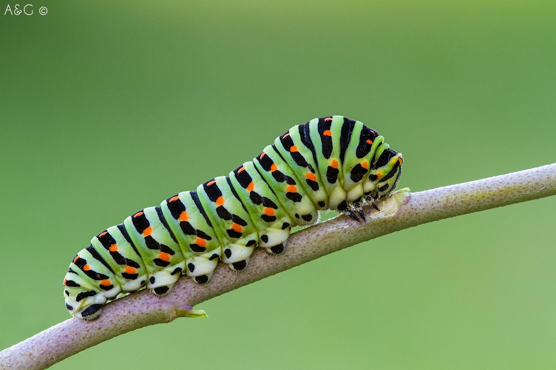 bruco Papilio machaon...