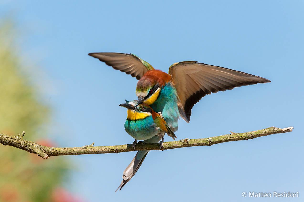 Bee-eaters (pair)...